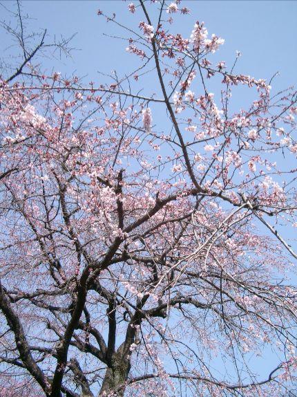 桜00(変換後).jpg